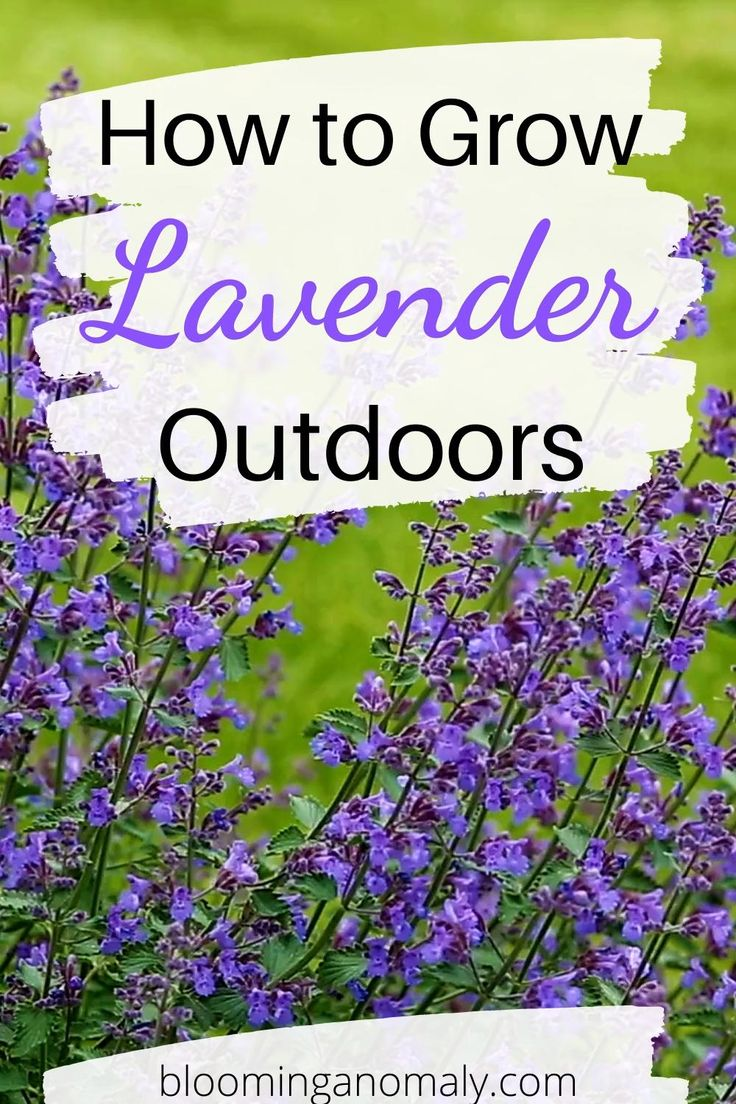 How to grow lavender outdoors video in 2020 growing
