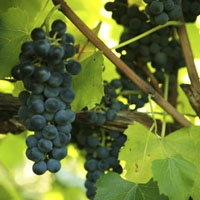 1000 images about grapes on pinterest white wines for Table grapes zone 6