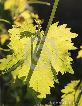 Leaves of grape in a garden