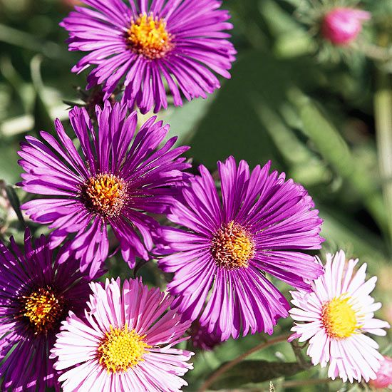 Colorful Aster thrives in tough clay soil. See more plants that grow well in clay: http://www.bhg.com/gardening/flowers/perennials/best-plants-to-grow-in-clay/