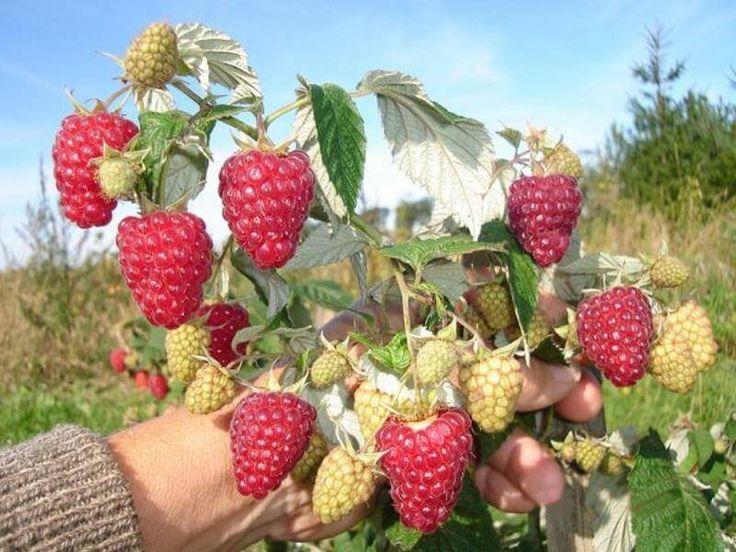 Как получить небывалый урожай малины?