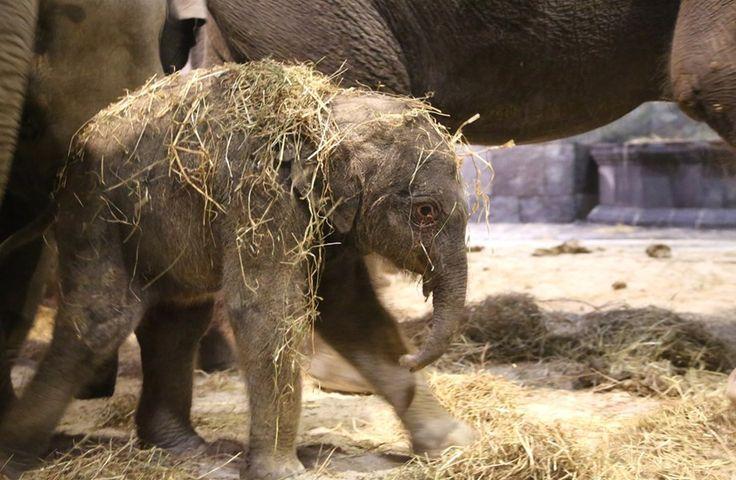 L'éléphanteau pèse entre 90 et 100 kg. Il est né avec dix jours d'avance.