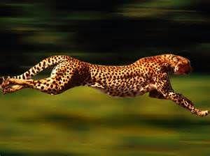 Ontwerp of toevallige evolutie? Het jachtluipaard of de cheetah ...
