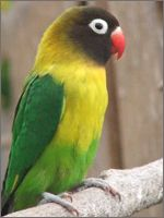 About African Lovebird: Training, Temperament & Characteristics