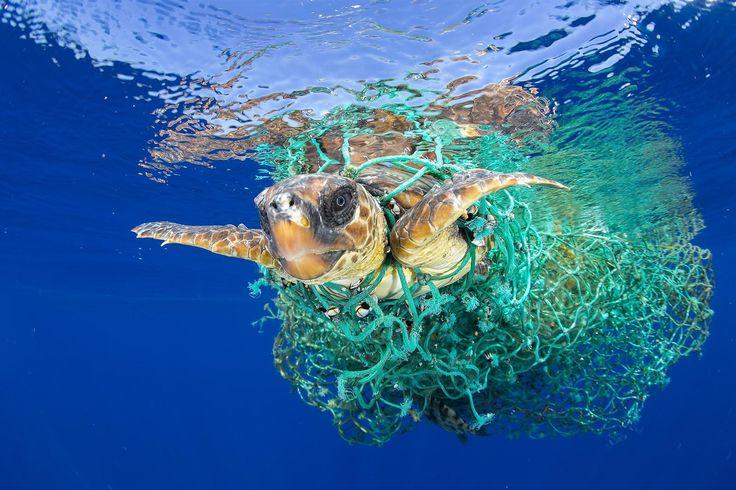 Příroda (1. místo): Francis Perez. Mořská želva, patřící do ohrožených živočišných druhů, plave zamotaná do rybářské sítě nedaleko pobřeží Tenerife.