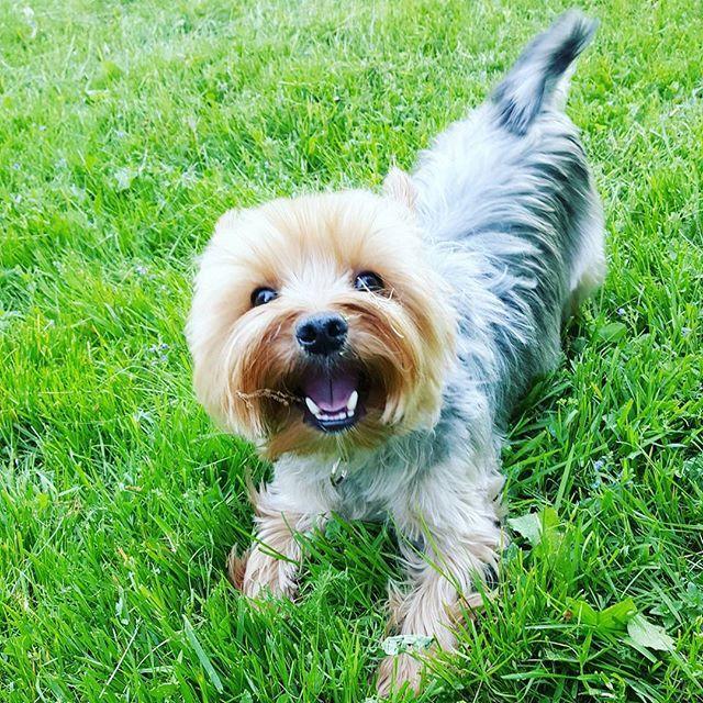 Someone is little bit too excited about this freedom #rufus #yorkie #yorkshireterrier #dog #littledog #instayorkie #yorkiesofinstagram #furball #dogpics #dogphotography #cutie #dogstagram #yorkielove #yorkki #terrier #terrieri #yorkshirenterrieri #cutedog #helsinki #green #helsinki #finland #kulosaari