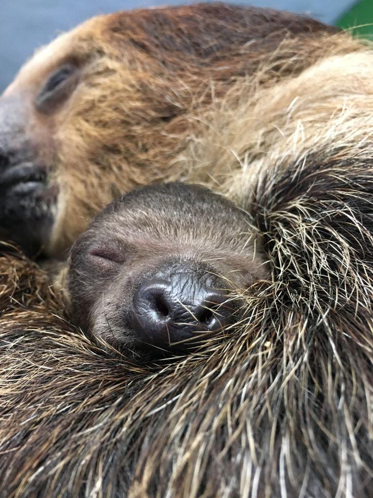 New Sloth at Stone Zoo Sticks Close to Mom