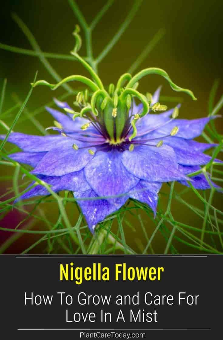 Nigella Flower Care How To Grow Love In A Mist Plant In 2020 Annual Plants Nigella Plant Grass Flower