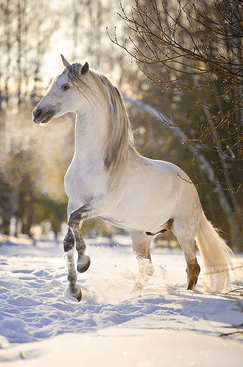 White Horse in Snow, white beauty, Winter, snow, hest, horse, animal, movement, shade of grey, beautiful, gorgeous, photograph, photo