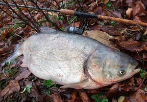 Рыбалка видео: Ловля толстолобика весной