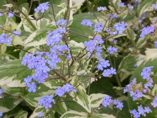 Brunnera macrophylla 'Variegata' (Kaukasische vergeet-me-nietje)
