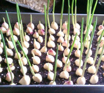 Σταματήστε να Αγοράζετε Σκόρδο-Αυτός είναι ο Τρόπος να Καλλιεργήσετε Απεριόριστη Ποσότητα μέσα στο Σπίτι σας!