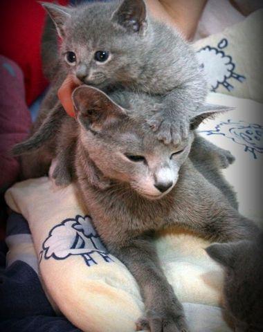 małe kotki rosyjskie