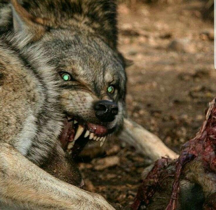 Картинки голодных волков