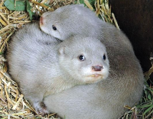 extremely rare white otter cubs