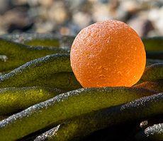 rare sea glass marble on seaweed