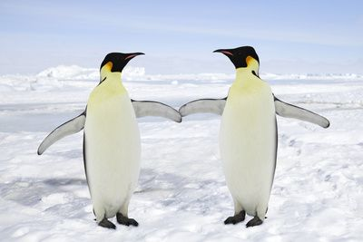 Emperor Penguin Pair Holding Hands