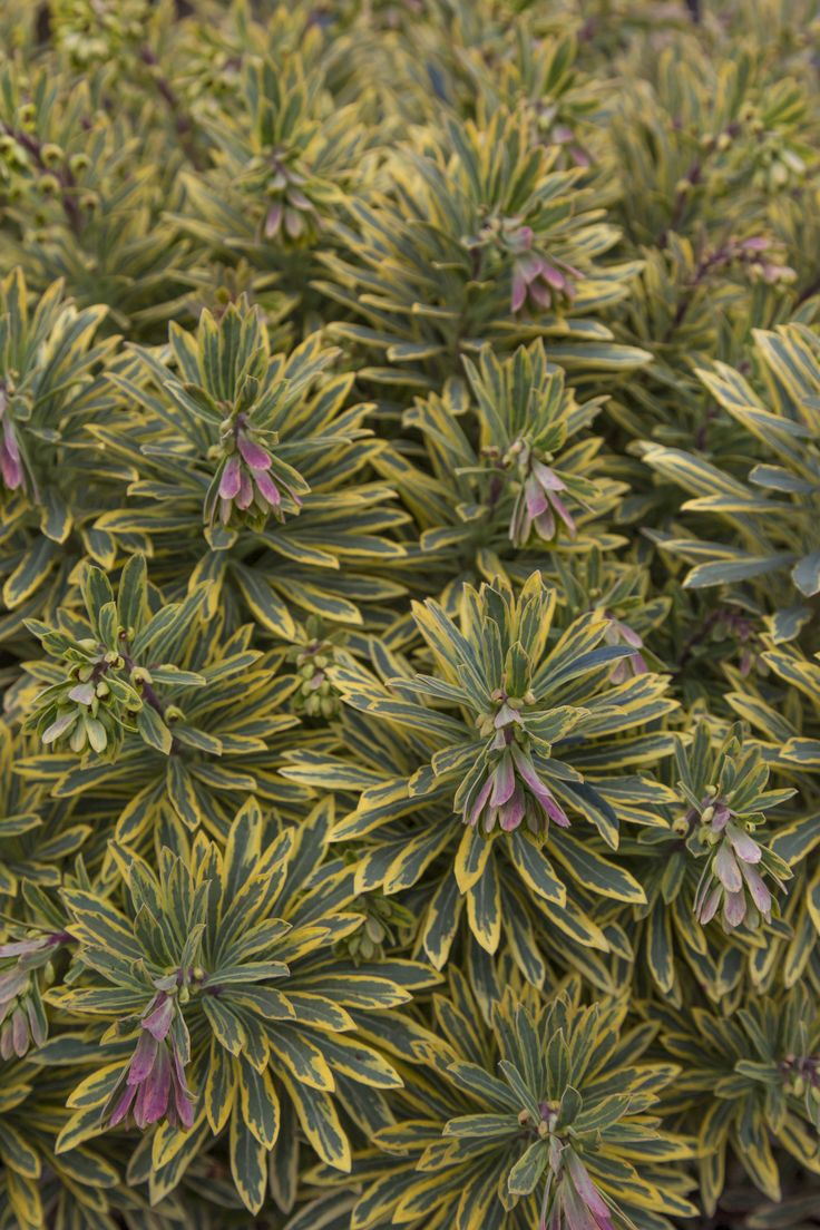 Euphorbia 'Ascot Rainbow' • Striking container displays for winter and spring as well as garden plantings • Small gardens, patios and courtyards, dry or gravel style gardens or xeriscaping • Adding a mediterranean feel to your garden or sunny herbaceous border • Year round interest from foliage colour - ideal for structure in perennial borders • Coastal regions