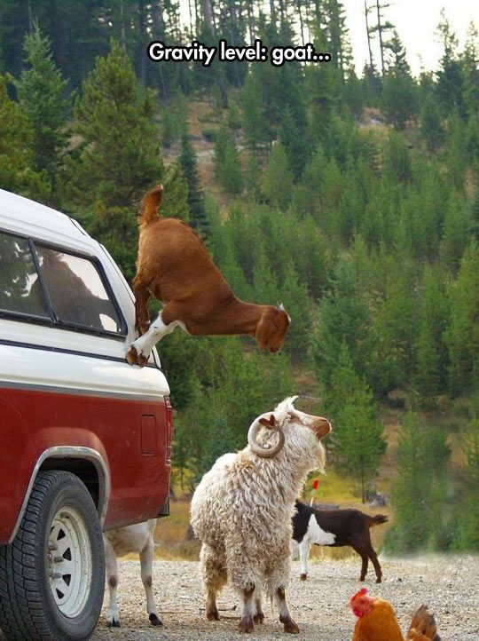 Goats Don't Believe In Gravity - I see.  So if I substitute goats for the wheels on my car, no mountain would defy me.  And if I covered the car with goats, I might even be able to fly.....