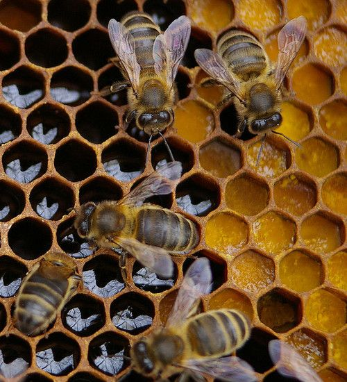Honey comb with bees