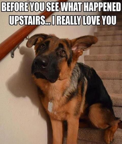 This is SO a GS puppy for 2 years!  OMG but they are Always so sorry.