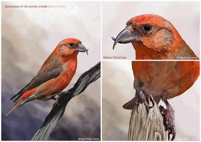 Diego Ortega Alonso - Loxia curvirostra. Adaptacio... #illustration #selected 2nd edicion @il·lustra ciència