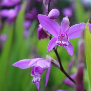 CHINESE GROUND ORCHID - Garden Express