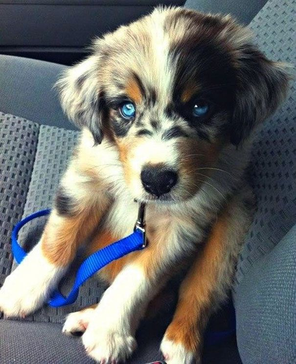 mixed-breed-dogs-10 From BoredPanda This is a Goberian : Sibirian Husky & Golden Retriever