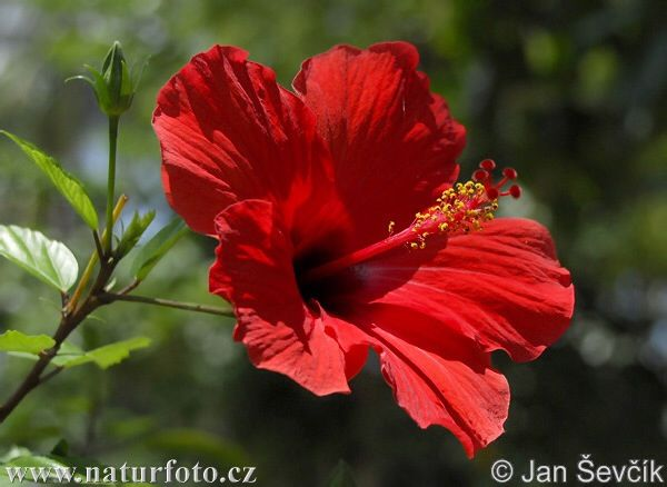 27 best flowers images on pinterest   hibiscus flowers, nature and