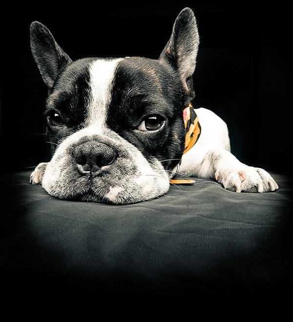 French Bulldog by Shutterstock.