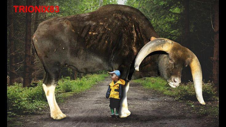 Razas de toros unicas que no sabias que existian – Razas de vacas reales unicas en el mundo - VER VÍDEO -> http://quehubocolombia.com/razas-de-toros-unicas-que-no-sabias-que-existian-razas-de-vacas-reales-unicas-en-el-mundo    LOS TOROS MAS RAROS DEL MUNDO: 13. Yak 12. Toro azul belga – Razas de toros que no creeras que existen 11. Zebú –   – Razas de toros que no sabias que existian 10. Toro charolais – El toro mas grande del mundo 9. Bisonte am