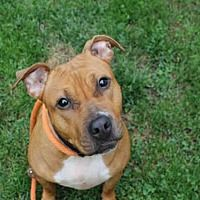 Pictures of JOJO a Pit Bull Terrier for adoption in Scotia, NY who needs a loving home.