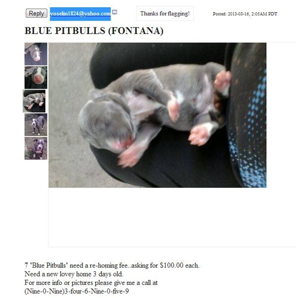 Ugh Woman Caught Selling 3 Day Old Pit Bull Puppies On Craigslist