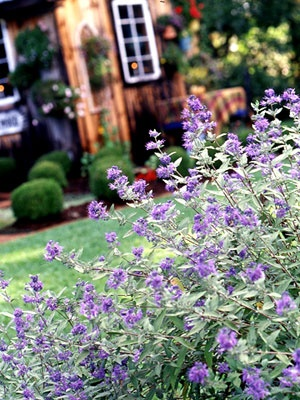 Bluebeard  Also known as blue-mist spirea, bluebeard is a late-season bloomer with powder-puff blue, pink, or purple flowers on compact plants with gray-green foliage. Selections offering variegated or gold foliage are also available. It is deer- and drought resistant and attracts butterflies.