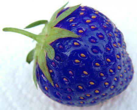 GMO's - BLUE STRAWBERRIES.    Scientists have produced a Blue Strawberry by splicing them with Fish genes.    Scientists are genetically modifying strawberries in order to allow them to resist freezing temperatures better. They're doing it by artificial transfer of genes from a species of fish called the Arctic Flounder Fish. The Arctic Flounder Fish produces an anti-freeze that allows it to protect himself in freezing waters.        While they're not in production, research is ongoing.