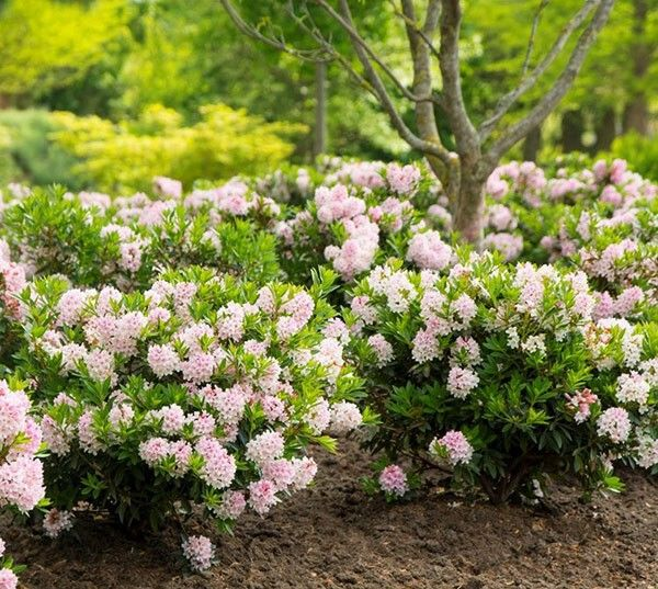 RhododendronBloombux('Microhirs3') (PBR)