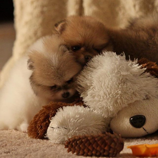 Cute pommy