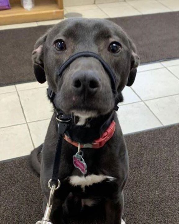Lost Dog St Paul Pitbull Labrador Retriever Mix Female Date Lost 02 15 2020 Dog S Name Tuukka Breed Of Dog In 2020 Dog Ages Losing A Dog Labrador Retriever Mix