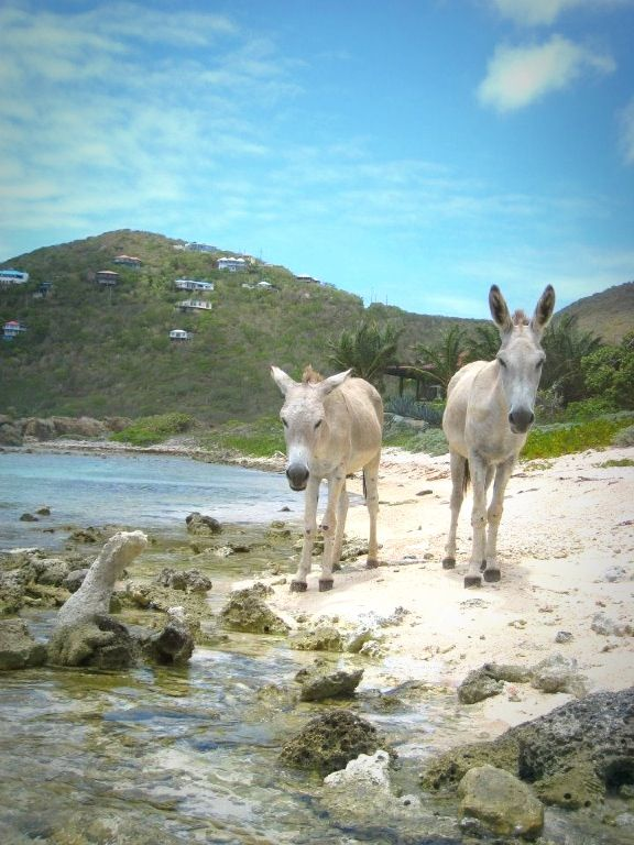 St John usvi Donkeys--they are familiar faces in the Coral Bay Area.