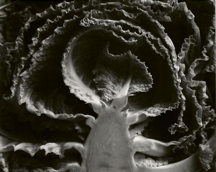 Edward Weston • Kale, Halved. 1930