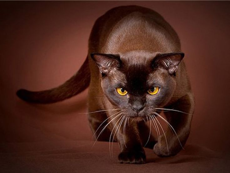 The Havana Brown, was the result of planned breedings between Siamese and domestic black cats, by a group of cat fanciers in the 1950s. Similar to the oriental shorthair, full color cats, also known as non-blue eyed Siamese. Early breeders introduced Russian Blue into their breeding, however it is thought almost none remains in the gene pool.