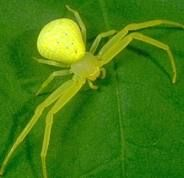 A very common type--the Goldenrod Crab Spider.