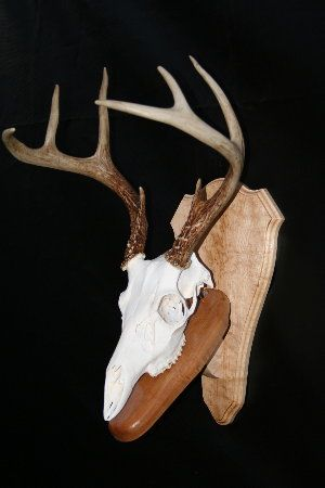 how to clean a deer skull for mounting