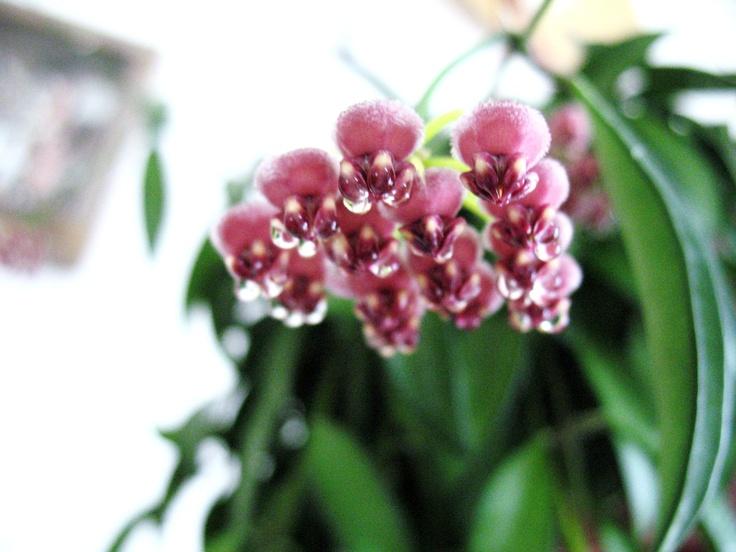 Hoya Kentiana in bloom