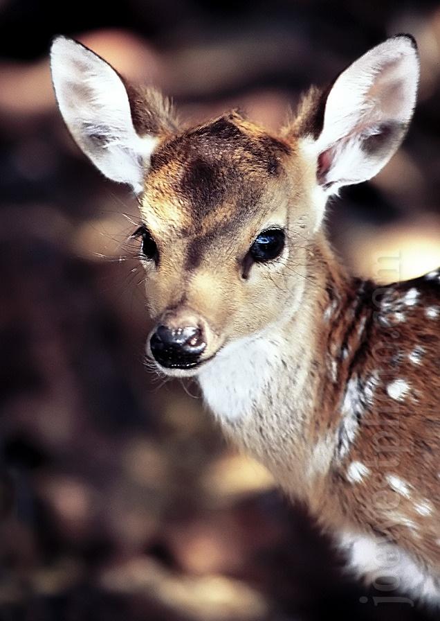 Baby Axis Deer Pinterest Animal Fur