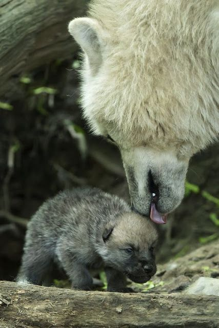 White Wolf: Arctic Wolf Pups Can Howl With The Best of Them (Photos- Video)