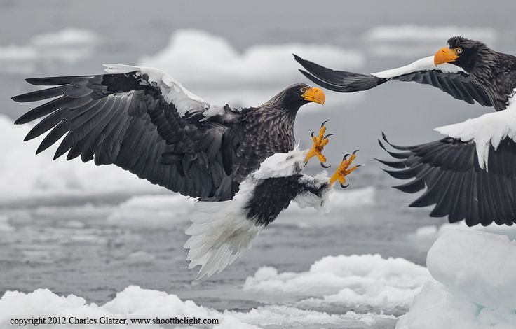 Steller's Sea Eagles, wildlife photography by Charles Glatzer