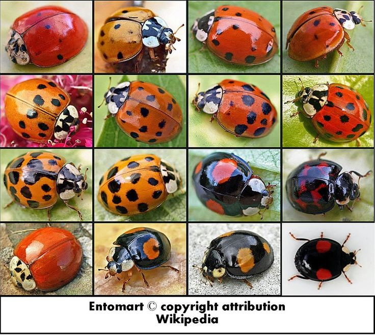 Roots 'n' Shoots: Ladybeetle (Ladybug or Ladybird): Biological Control - Garden Critter of the Month