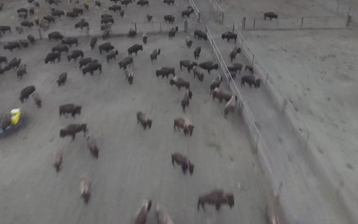 <p>This video shows a group of wild buffalo on Standing Rock Reservation that has been corralled and isolated inside a razor wire wall that is surrounded by a deep trench.  </p>