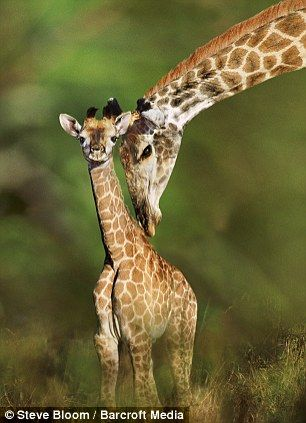 Helping hand: This giraffe seen in South Africa gives its offspring a little prod in the right direction